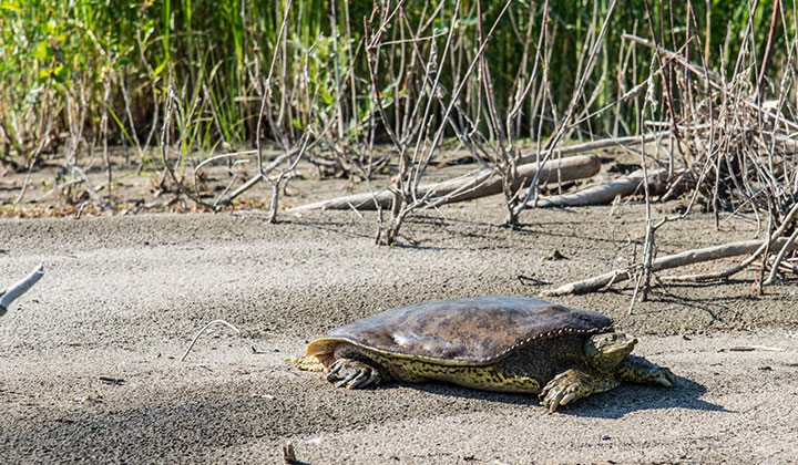 RMC River Turtle Research